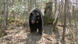 bear-56