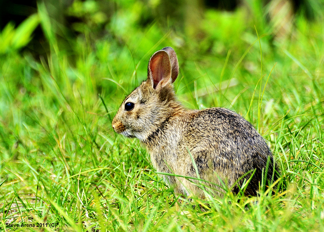Rabbit in a meadow.