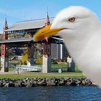 Bayfront Gull