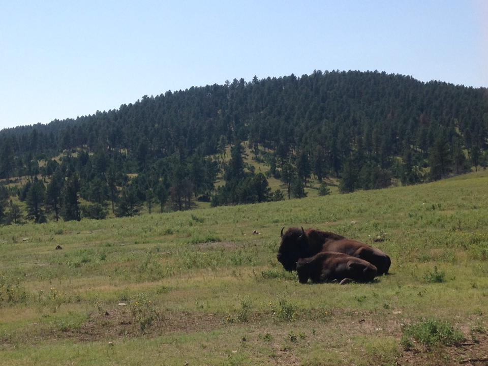 Bison rest along the Black Hills of Custer State Park in South Dakota. PHOTO: Aaron J. Brown