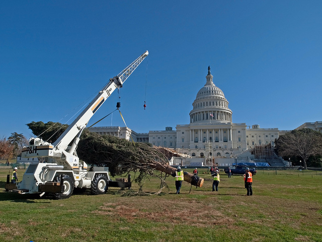 This Engleman spruce from Colorado was selected to be the 2012 Capitol Christmas tree. This year, an 80-foot white spruce from the Chippewa National Forest in Northern Minnesota will hold that high honor. (PHOTO: US Forest Service/Keith Riggs)