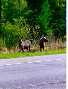 Rare moose sighting near Cherry