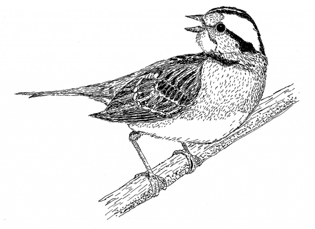 """White-throated sparrow,"" one of many drawings featured in ""Within These Woods,"" a new book by Dr. Timothy Goodwin of Bemidji State University."