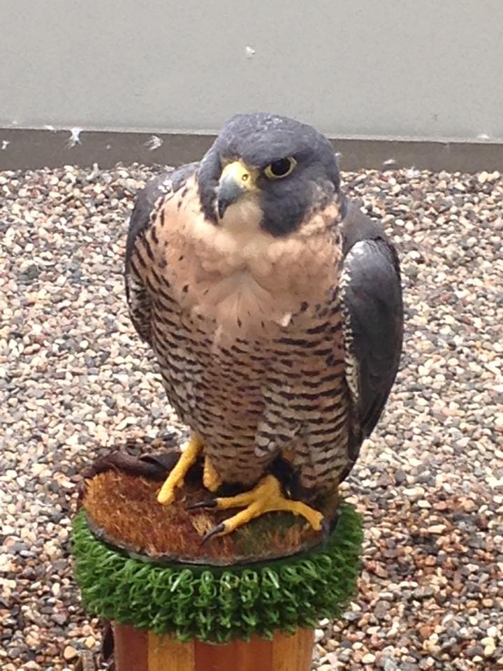 A rescued peregrine falcon at the Raptor Center on the St. Paul campus of the University of Minnesota. (Aaron J. Brown)