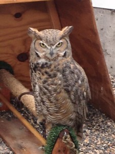 A great horned owl at the Raptor Center in St. Paul, Minnesota. (Aaron J. Brown)