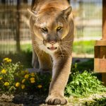 Rawr: 'Cougar' catfight stirs controversy
