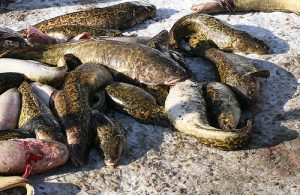 Northern MN eelpout festival seeks new home