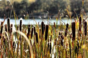 Science warns that more cattails means more methane
